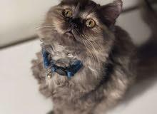 قط شيرازي النوع للبيع