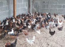بيع دجاج عماني