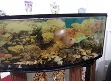 حوض سمك مفترس بسعر حرق مع السمك الي فيه