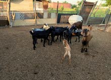 goats for sale 6 nos