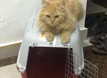 للبيع قط شيرازي نضيف وبصحه ممتاااازه جداا ومحصن من الأمراض