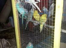 طيور فيشر+ طيور العشاق