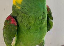 amazon yellow nape - trained and tamed