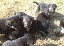 8كلاب جيرمن للبيع