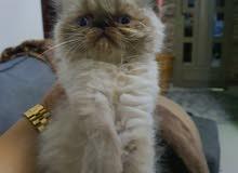 للبيع قطط بيكي فيس هيمالايا