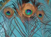 ريش طاووس طبيعي للبيع