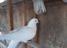 طيور ارافل جميلة جدا والباقي زواجل بسعر رخيص جدا لعدم التفرغ لتربيتها