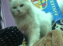 قطة شيرازية بيضاء سعر مغري