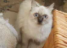 قطط هيمالايا اناث للانتاج أسعار تبدأ من 350 درهم