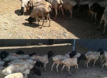 أغنام صوماليه للبيع