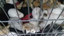 متوفر ارانب هولنديه