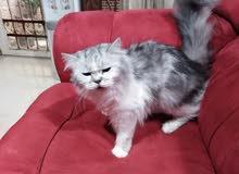 قطه انثي للبيع طالبه تزاوج