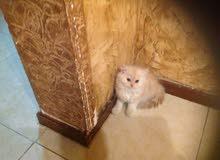 قطط شيرازى إناث للبيع