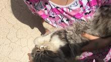 قطط للبيع شيرازيه بيكي فيس ب500 ريال قابل للتفاوض
