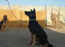 تدريب الكلاب   طاعه _ شراسه _ تغيير سلوك .