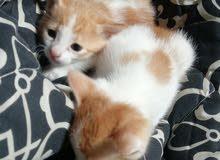 قطط شيرازيه للبيع العمر شهرين