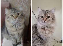 قطط عدد 2 للتبني