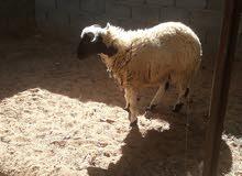 خروف افاري ببغاء