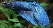سمكة زرقاء مع حوض واكل للبيع