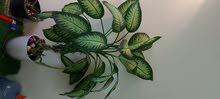 نبتة زينة  طبيعية داخلية للبيع