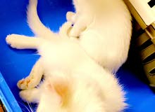 قطط العدد2 ذكر وانثى شيرازي اميريكي