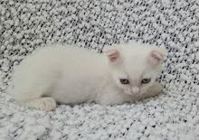 pure Scottish fold boy available