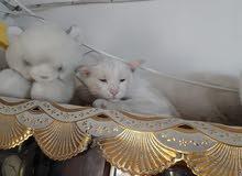 زوجين قطط شيرازي اليفات مال بيت امهات  يتوفر فيديو توضيحي