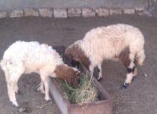 خروف وفطيمه