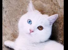 قط أنثى شيرازي كل عين لون