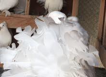 طيور نوع شمسي