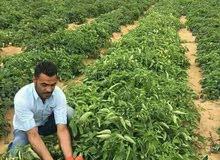 لراغبي الاستثمار الزراعي والانتاج ارض مزروعه علي التراعه مباشر