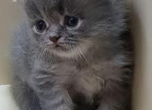 قطط سكوتش شيرازي ذكور واناث مستويات عالية