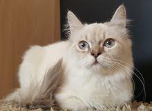 قط هيمالايا