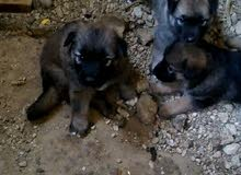Kangal German Shephered Crossbreed puppies for sale