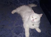 قطة شيرازي بيور حامل