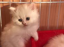 قطط شيرازي وهملايا 200 الف فقط