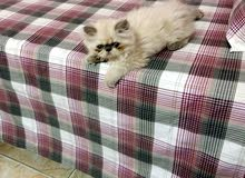 قطط بنت ولد هماالا العمر55يوم متعودين على أكل البيت واخدين جرعه الحشرات