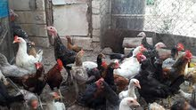 الالحبش و دجاج للبيع