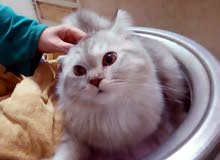 قطط شيرازي ذكور للبيع