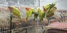 طيور روز للبيع 18 زوج