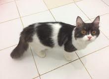 قطة انثى للبيع جدة