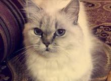 قطه شعر كثيف