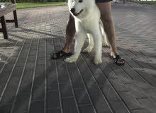 كلب سامويد