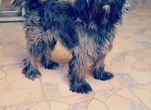 للبيع كلبة نوع الشيتزو العمر سنة وشهرين السعر 80 دينار كلبة لعبوبة مع الأطفال تل