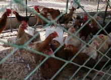 دجاج و ديوك للبيع
