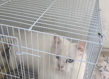 قطة شيرازية بيضاء اللون ، نظيفة وتحب اللعب