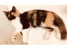 قطة أنثى للبيع