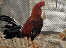 دجاج  تايلاندي باكستاني thai.paki.native