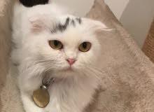 قطة شيرازيه العمر سنة ونص