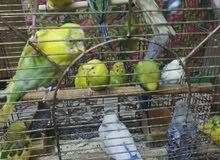 بوجي (طيور الحب) للبيع
